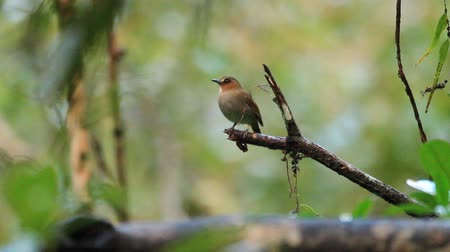 gularis : Eyebrowed JungleFlycatcher Rhinomyias gularis in Borneo Stock Footage