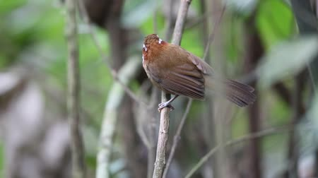 north vietnam : streak-breasted scimitar babbler