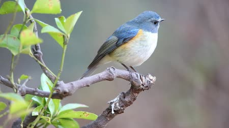 flanked : Red-flanked bluetail or Orange-flanked bush robin (Tarsiger cyanurus) in Japan Stock Footage