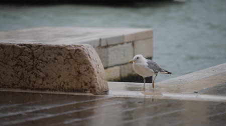 arenque : European herring gull near Venice lake in rainy day. Vídeos