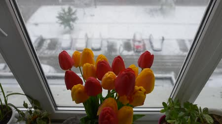 tekir : American shorthair cat playing near bouquet of tulips on window in winter day. Stok Video