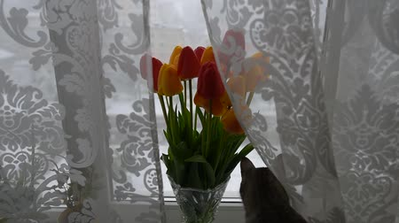 rövidszőrű : American shorthair cat playing near bouquet of tulips on window in winter day. Stock mozgókép