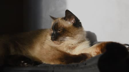 gato : Siamese cat lying at sunlight. Stock Footage