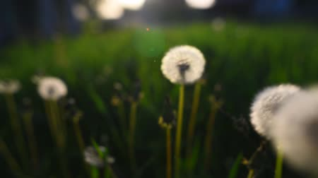 flower buds : Close-up view of dandelion flower at sunset.