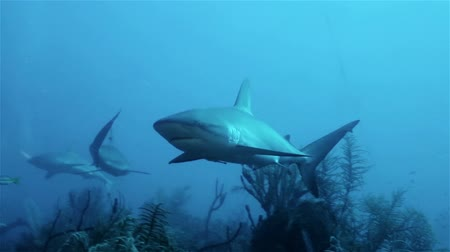 акула : Caribbean reef sharks floating in the deep sea