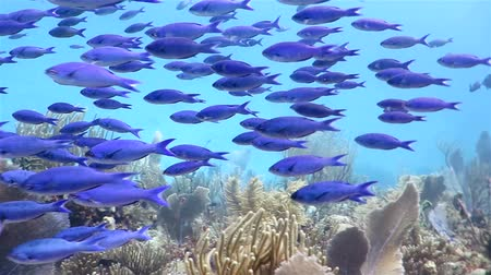 la reina : School of blue fish floating on the coral reef Stock Footage