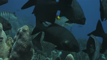 la reina : A group of black fish floatig around pipe coral on the reef