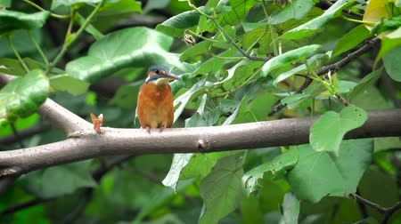 nó : 4k video with kingfisher sitting on branch