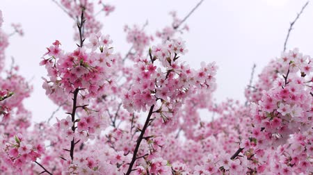 kanto : Cherry blossoms fluttering in the wind, Tokyo, Japan Stock Footage