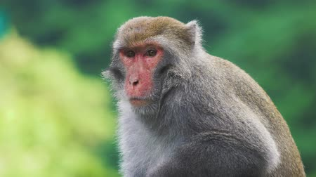 eaten : Wild Formosan rock macaque sitting on the top of the tree, Taiwan