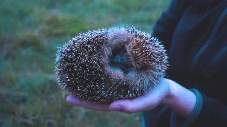 europaeus : The wild hedgehog is ironed Stock Footage