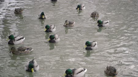 yeşilbaş : Ducks and drakes swim in the river