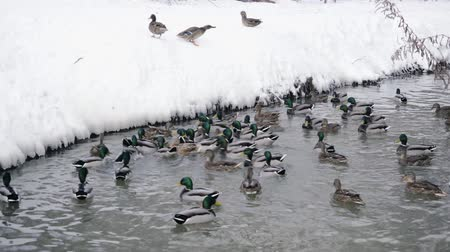 сделанный : Ducks in the river catch food Стоковые видеозаписи