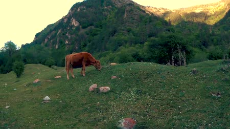 ranč : Cows eat grass in the highlands