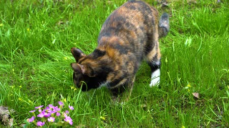 üç renkli : Tricolor cat sniffs grass and eats