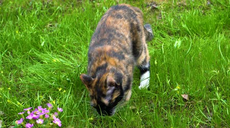trikolóra : Tricolor cat walks on the grass and eats