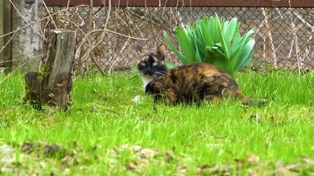 suisse : Cat sitting on the grass