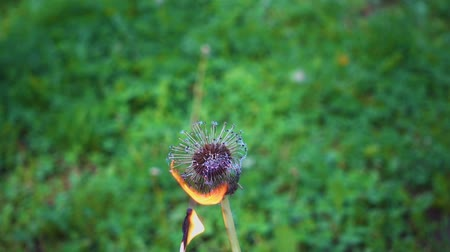 Dandelion set fire to a match and he in slow motion engulfed
