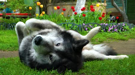Grey fluffy husky dog basking on the green grass Wideo