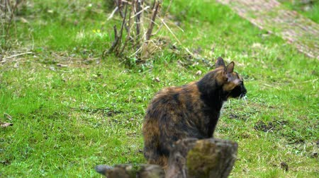 Cat sits on the grass and starts to twitch Stok Video