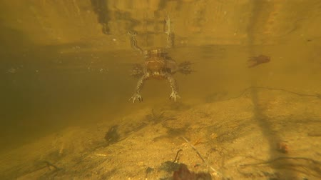 bullfrog : The toad under water, swiftly pursuing the camera. Stock Footage