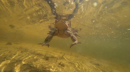 rana : The toad under the water haunts the camera.