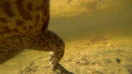 karakurbağası : Toad under water jumps on the camera and moves with it.