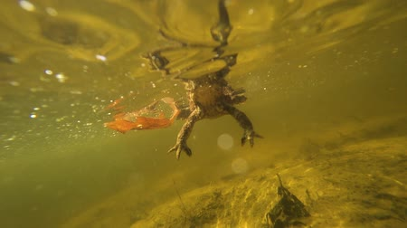 moor : The toad under the water swims behind the camera Stock Footage