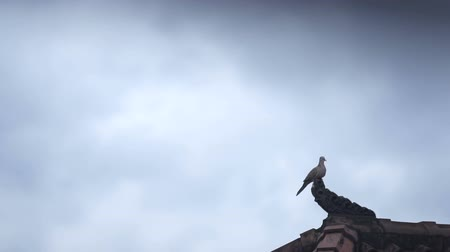 yaban hayatı : turtledove at the edge of the roof Stok Video