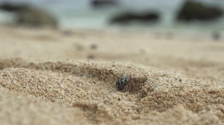 in the wild : hermit crab walking on the sand
