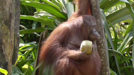 Борнео : orangutan are holding young coconuts