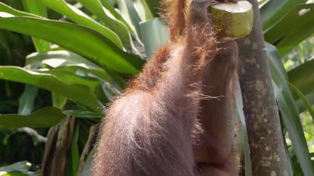tame animal : orangutan are drinking young coconut Stock Footage