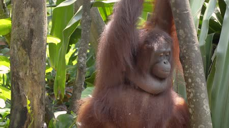 tame animal : orangutan are holding young coconuts