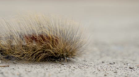 housenka : hairy catterpillar walking slowly outdoor