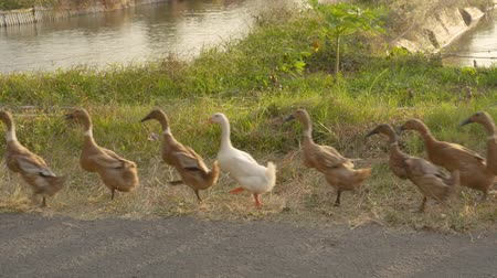 aves : group of ducks walking outdoor Stock Footage