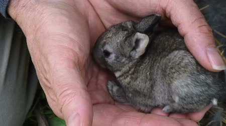 króliczek : Breeder holds a newborn rabbit in hand