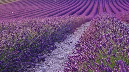 kırsal : Lavender field in the summer in Valensole.Provence,France.