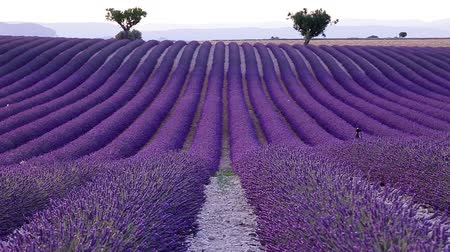 levandule : Lavender field in the summer in Valensole.Provence,France.