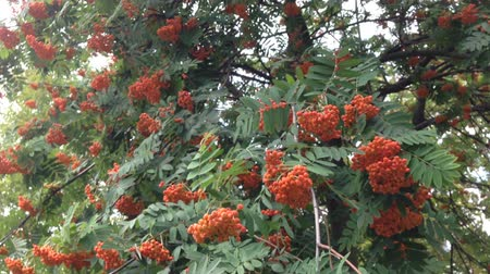 sorbus : Windy cloudy weather.