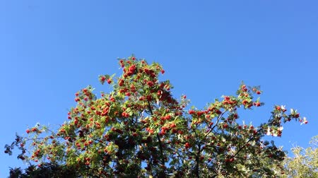 sorbus : Red ripe rowan berries on a tree with green leaves.