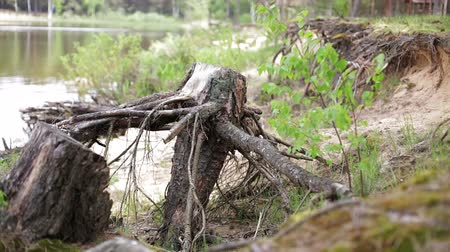 saçak : Nature. Dry old stump with roots thrown on the shore.