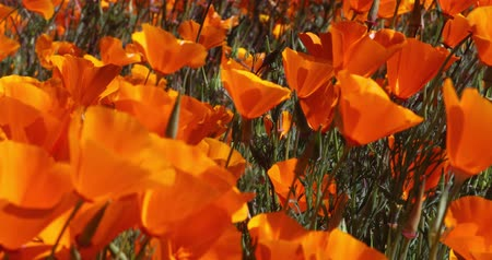 California Poppies Waving In The Wind During The 2019 Super Bloom