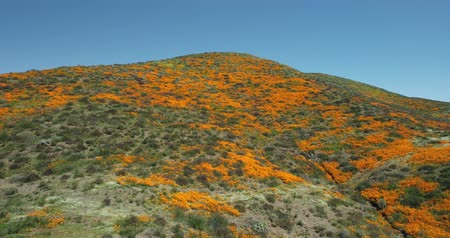 4k Drone Flight Footage Over California Poppies Super Bloom Stok Video