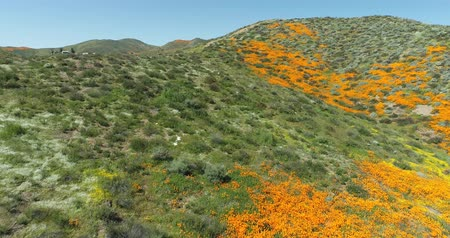 amapola : 4k Drone Flight Footage sobre California Poppies Super Bloom