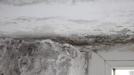 wetness : Mold growing above ceiling. Mold life and thrives in damp, warm, and humid environments Stock Footage