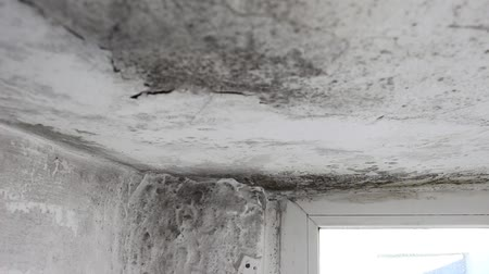 wetness : Mold in House on Walls, Ceiling, Windows. Mold lives and thrives in damp, warm, and humid environments