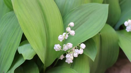 close up : May lily, Lily of the valley, Convallaria, and muguet
