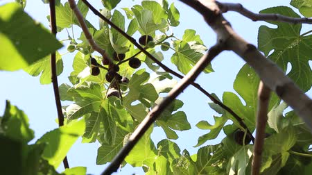 biblia : Fig tree with dark fruits. Black Mission Figs. Ripe common figs and fig leaves. Dark and green figs