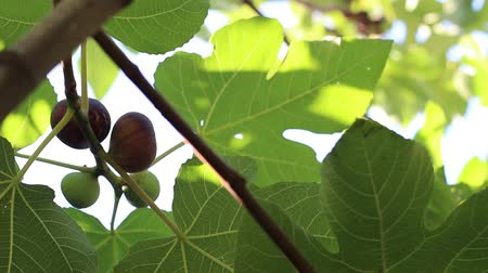anjeer : Ripe common figs and fig leaves. Dark and green figs. Fig tree with dark fruits. Black Mission Figs