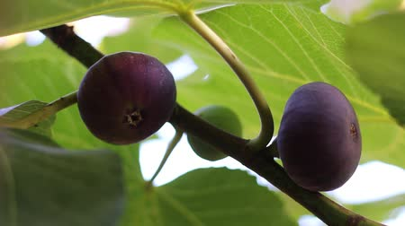 meditativo : Fig tree with dark fruits. Black Mission Figs. Ripe common figs and fig leaves. Dark and green figs